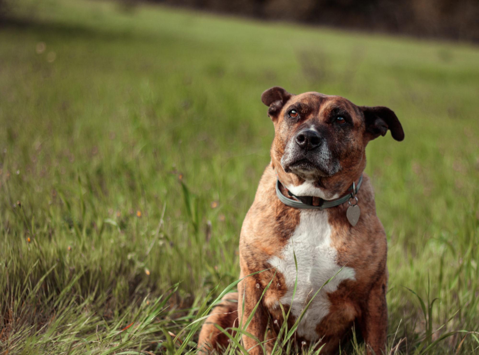 Clã do Cão